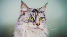 Maine Coon Cat Desktop Wallpaper HD