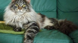 Maine Coon Cat High Quality Wallpaper