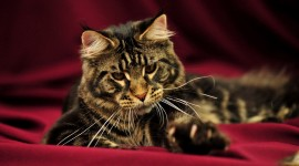 Maine Coon Cat Wallpaper Download