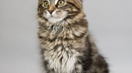 Maine Coon Cat Wallpaper For IPhone