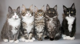 Maine Coon Cat Wallpaper For PC