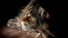 Maine Coon Cat Wallpaper Free