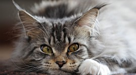 Maine Coon Cat Wallpaper High Definition