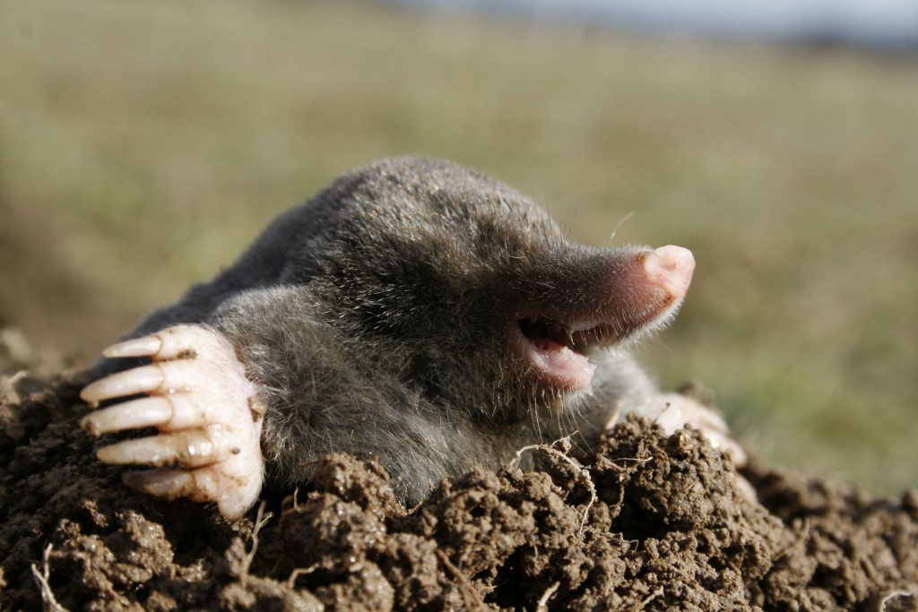 Moles wallpapers HD