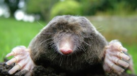Moles Wallpaper Gallery