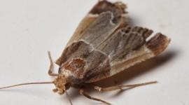 Moths Wallpaper Free