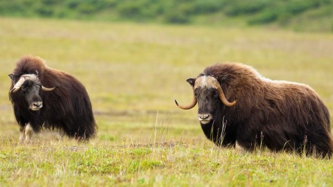 Muskox wallpapers high quality