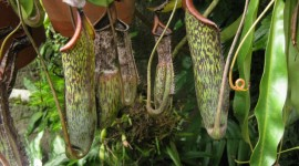 Nepenthes Attenboroughii Photo#3