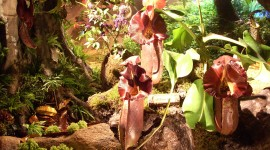 Nepenthes Attenboroughii Pics#1