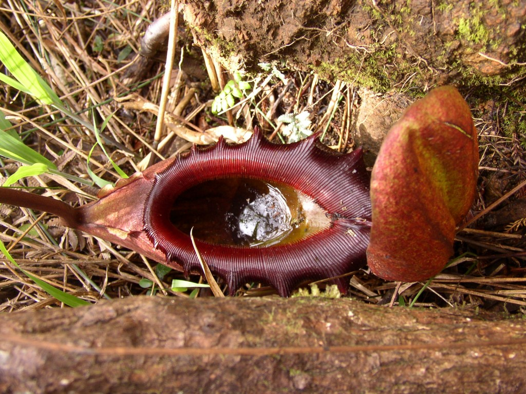 Nepenthes Attenboroughii wallpapers HD