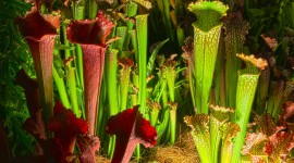 Nepenthes Attenboroughii Wallpaper Free