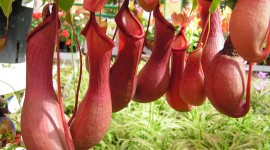 Nepenthes Attenboroughii Wallpaper HQ