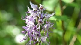 Orchis Simia Photo Free#2