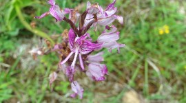 Orchis Simia Photo#2
