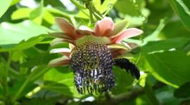 Passiflora Alata Photo#1