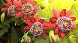 Passiflora Alata Wallpaper Download
