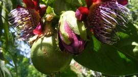 Passiflora Alata Wallpaper Free