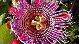 Passiflora Alata Wallpaper Gallery