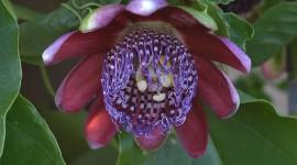 Passiflora Alata Wallpaper HQ#3