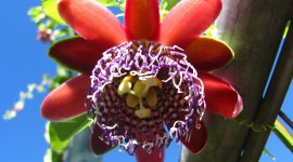Passiflora Alata Wallpaper#2