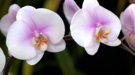 Phalaenopsis Wallpaper 1080p