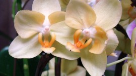 Phalaenopsis Wallpaper Download