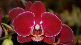 Phalaenopsis Wallpaper Download Free