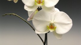 Phalaenopsis Wallpaper For Mobile