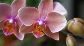 Phalaenopsis Wallpaper For PC