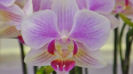 Phalaenopsis Wallpaper HQ