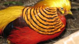 Pheasants Best Wallpaper