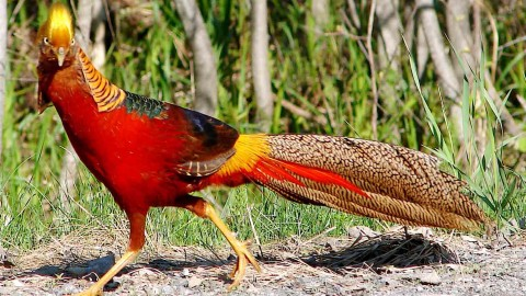 Pheasants wallpapers high quality