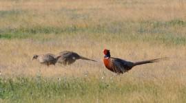 Pheasants Photo#3