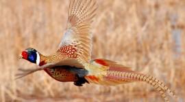 Pheasants Wallpaper 1080p