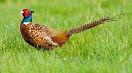 Pheasants Wallpaper Download
