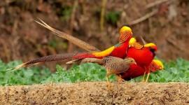 Pheasants Wallpaper Download Free