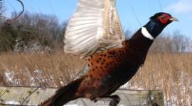 Pheasants Wallpaper For IPhone