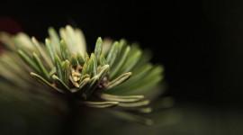 Pine Wallpaper Free