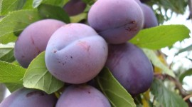 Plum Wallpaper Download Free
