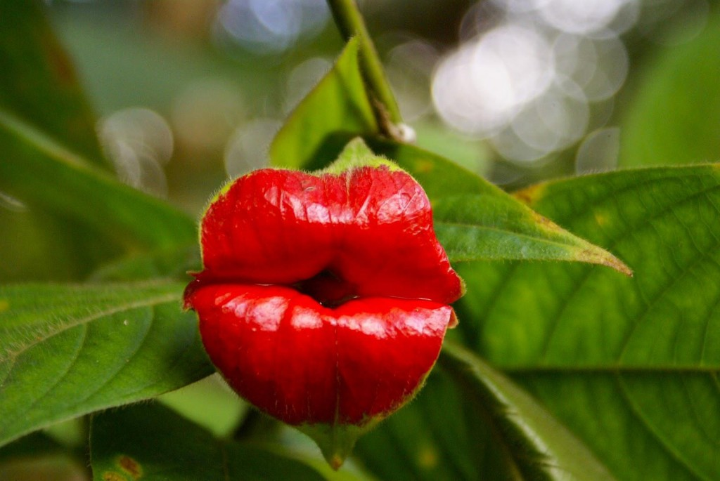 Psychotria Elata wallpapers HD