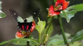 Psychotria Elata Photo Free