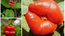 Psychotria Elata Pics
