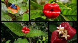 Psychotria Elata Pics#1