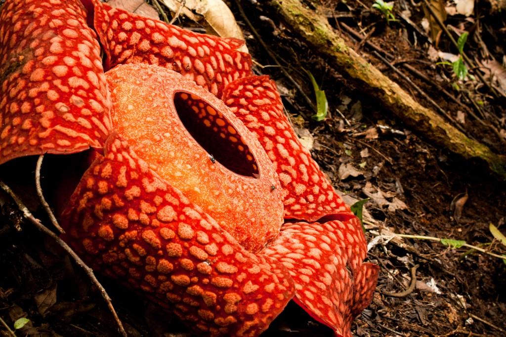 Rafflesia Arnoldii wallpapers HD