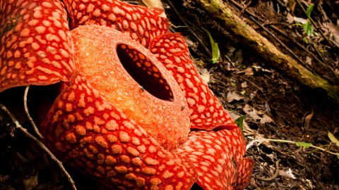 Rafflesia Arnoldii wallpapers high quality