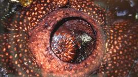 Rafflesia Arnoldii Desktop Wallpaper