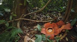 Rafflesia Arnoldii Image