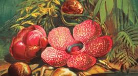 Rafflesia Arnoldii Image Download