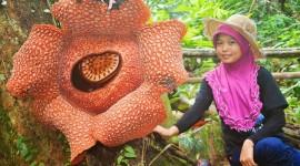 Rafflesia Arnoldii Photo
