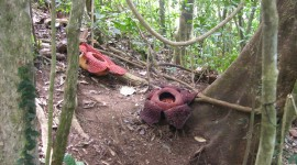 Rafflesia Arnoldii Photo#2